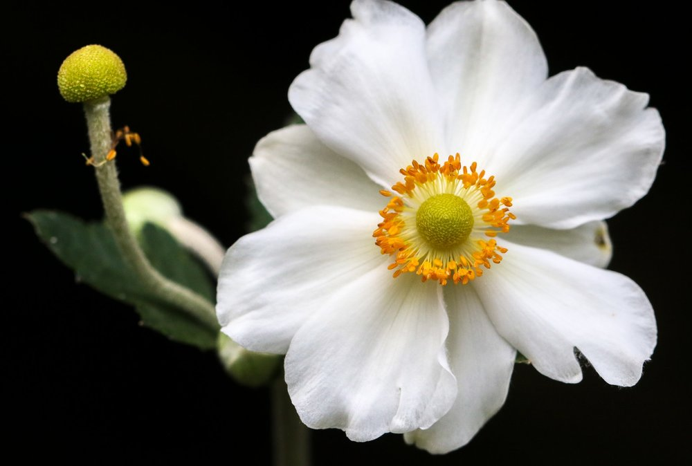 Japanese Anemone.jpg