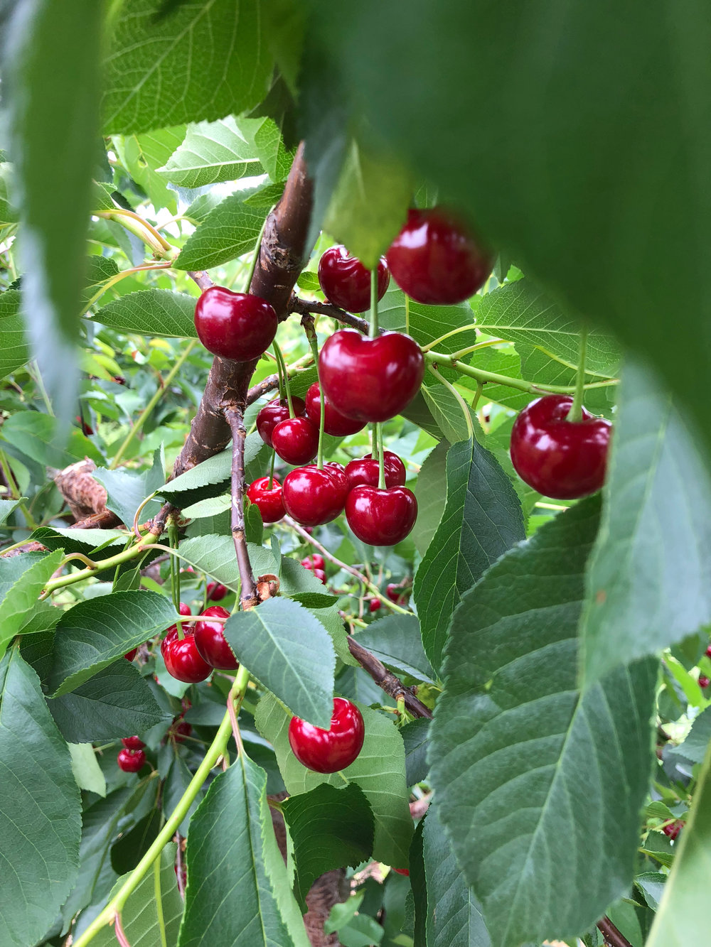 Sweet and Tart Cherries here at Abendroth's Apple Ridge Orchard