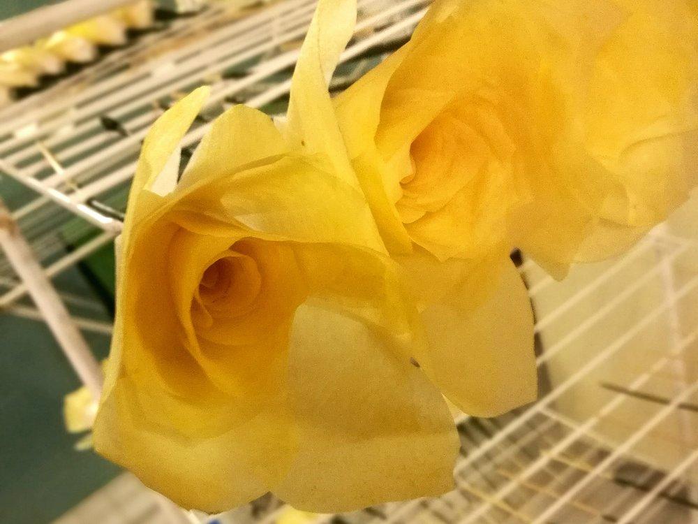 Juuri värjätyt ruusut kuivaustelineellä.