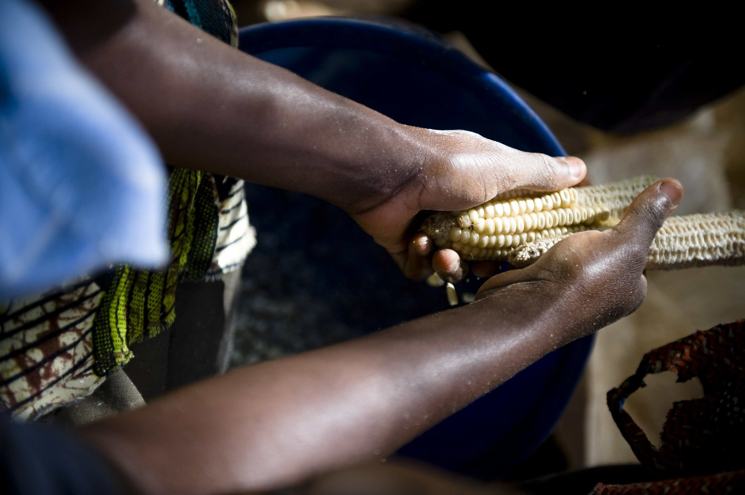 Two hands shuck kernels from a cob of maize