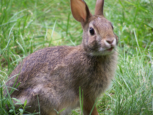Rabbit-closeup.jpg