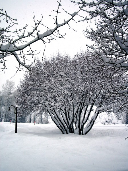Willows with snow