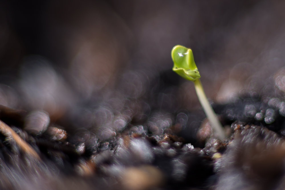 Broccoli Seedling.jpg
