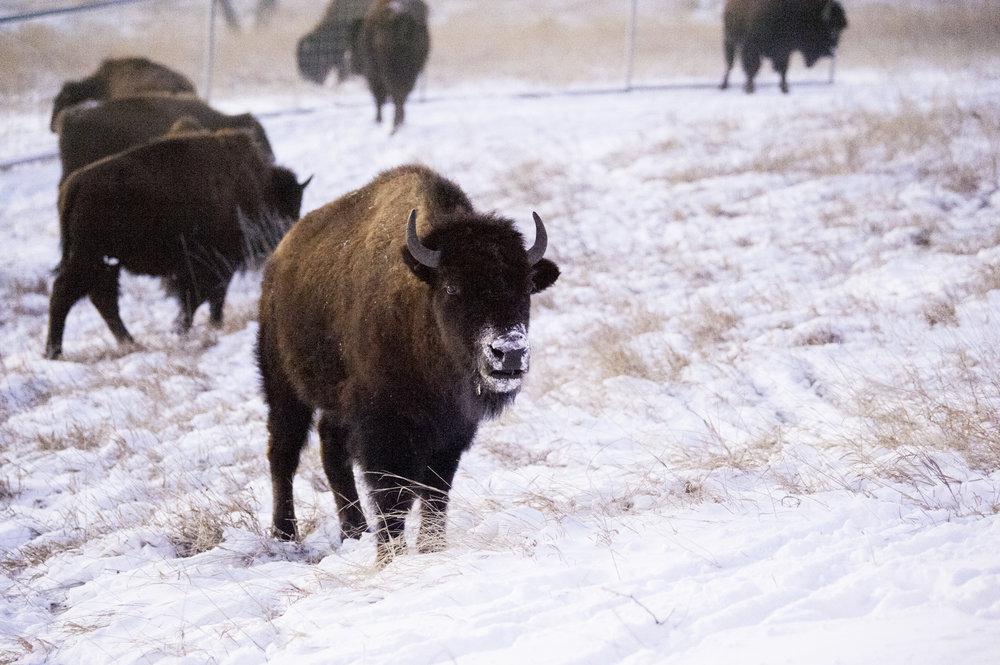 kcrestophoto-buffalo1.jpg