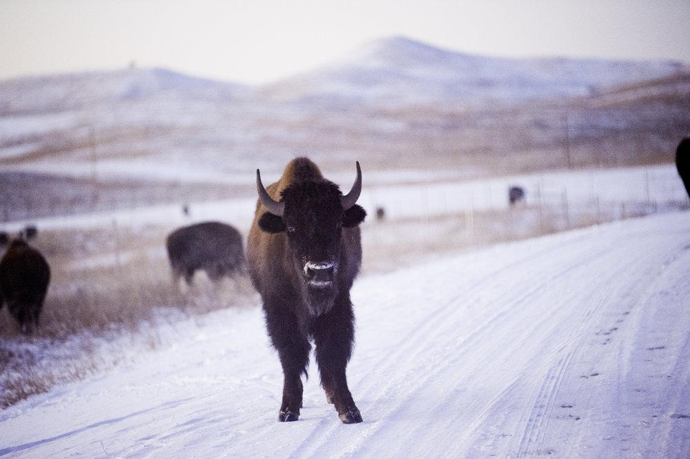 kcrestophoto-buffalo2.jpg