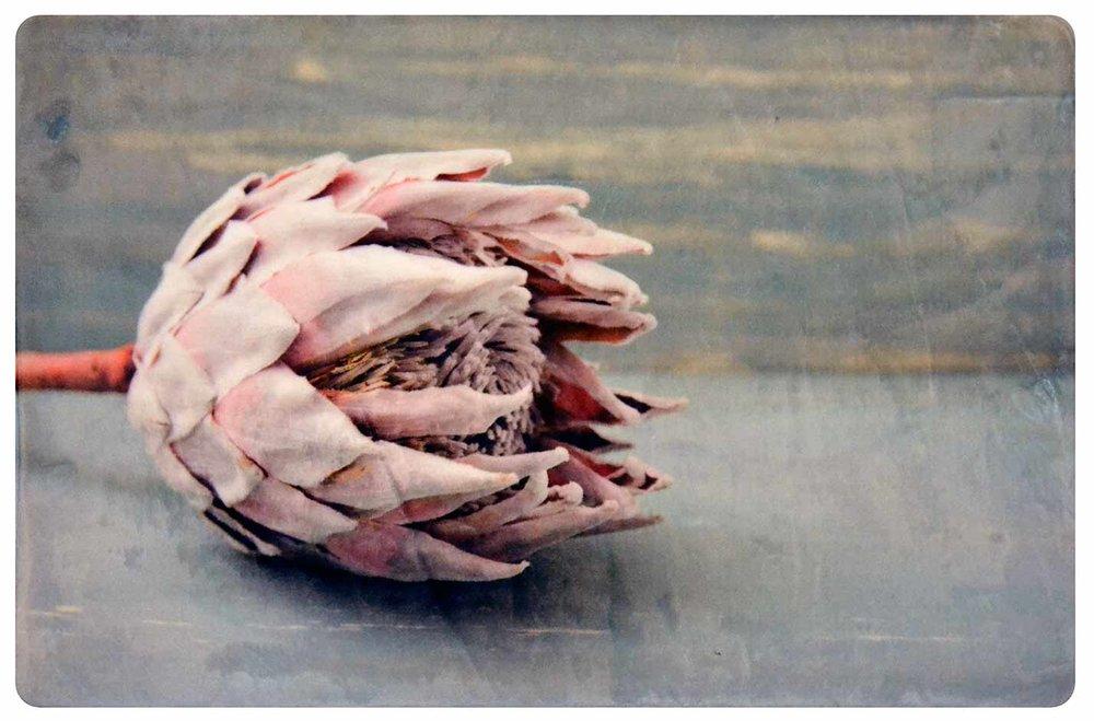 Pastel Pink Protea 1