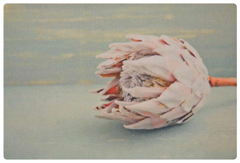 Pastel Pink Protea 2