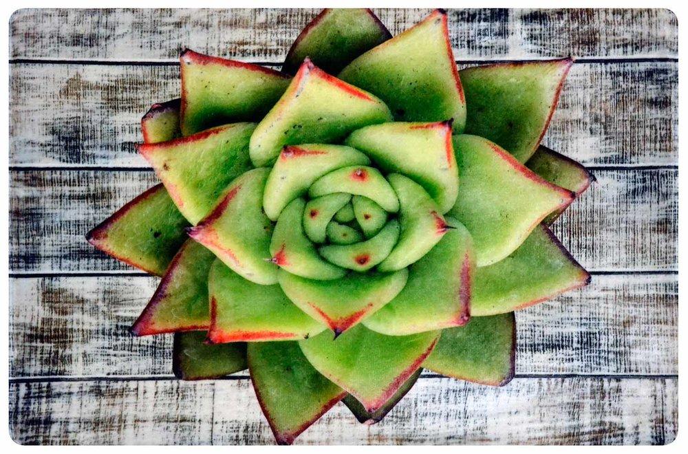 Pink Tipped Desert Rose