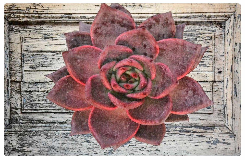 Dark Red Desert Rose