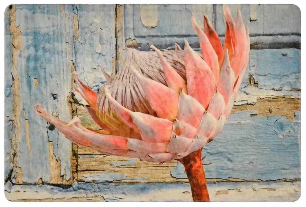 King Protea on Blue Wood