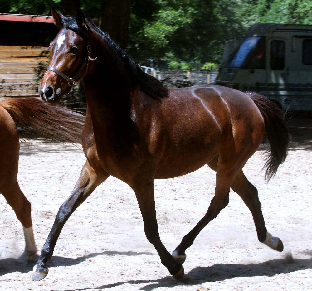 Berjouhi FLF – German Oldenburg Mare by Donnersohn out of Beaujoulais by Le Santo