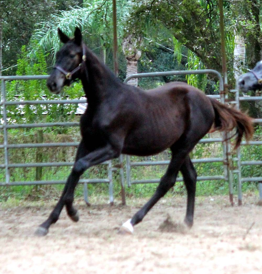 Falcone FLF – German Oldenburg Gelding by Florianus II out of Beaujoulais by Le Santo