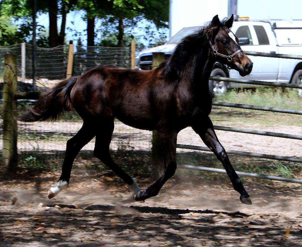 Front Stage FLF –American Warmblood Registry Mare by Le Andros out of Fedora by Ruffian