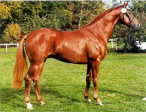 LONDONDERRY - HANOVERIAN REFERENCE SIRE