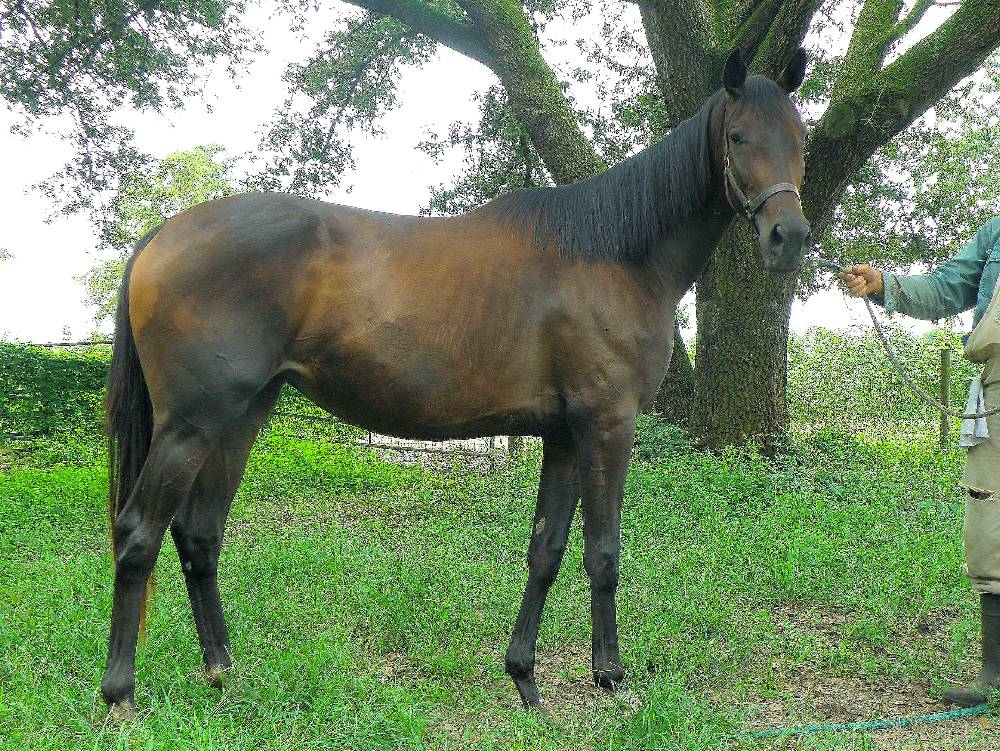 THOROUGHBRED MARE BY COLONY LIGHT OUT OF TROPICAL CHARM BY HALO'S IMAGE