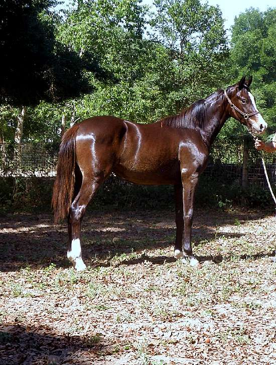 DECKED OUT- 2015 GERMAN OLDENBURG MARE FOR SALE BY DOCTOR WENDELL MF OUT OF DOM PERIGNON - HANOVERIAN MARE BY DOMINGO OUT OF CLOSET DANCER