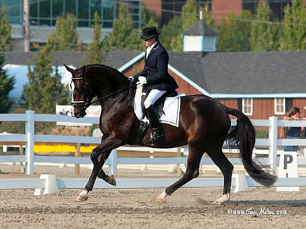 FEDORA -GERMAN OLDENBURG MARE BY RUFFIAN OUT OF FIONA BY FEINER GRAF IN FOAL TO LE ANDROS