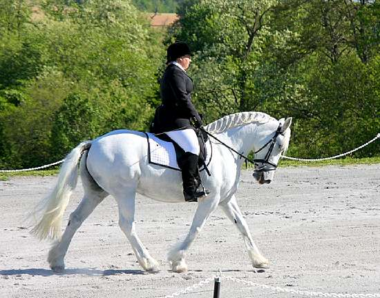 FOX TROT- NORTH AMERICAN SPORT PONY BY BRISTOL VALENTINO-IN FOAL TO LE ANDROS