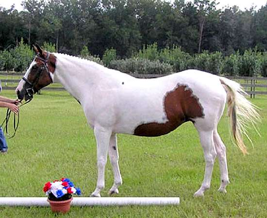 SKIPPIN JACKIE - OLDENBURG APPROVED BROODMARE BY SKIPPIN REED OUT OF BRIGHT AND WILD BY KINGFISHER