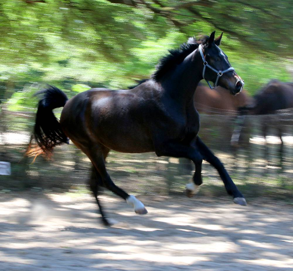 SOUND OF MUSIC- 2015 GERMAN OLDENBURG GELDING FOR SALE BY SOPRANO OUT OF FEDORA BY RUFFIAN