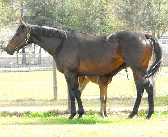 SYNFULL CHARMER - THOROUGHBRED BROODMARE BY WILD SYN OUT OF PACIFIC CHARMER BY MANILA
