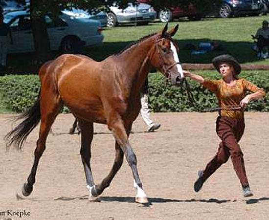 MY DUSTY VALENTINE - THOROUGHBRED SPORTHORSE BY PISTOLS AND ROSES OUT OF DESTINY'S DARLING