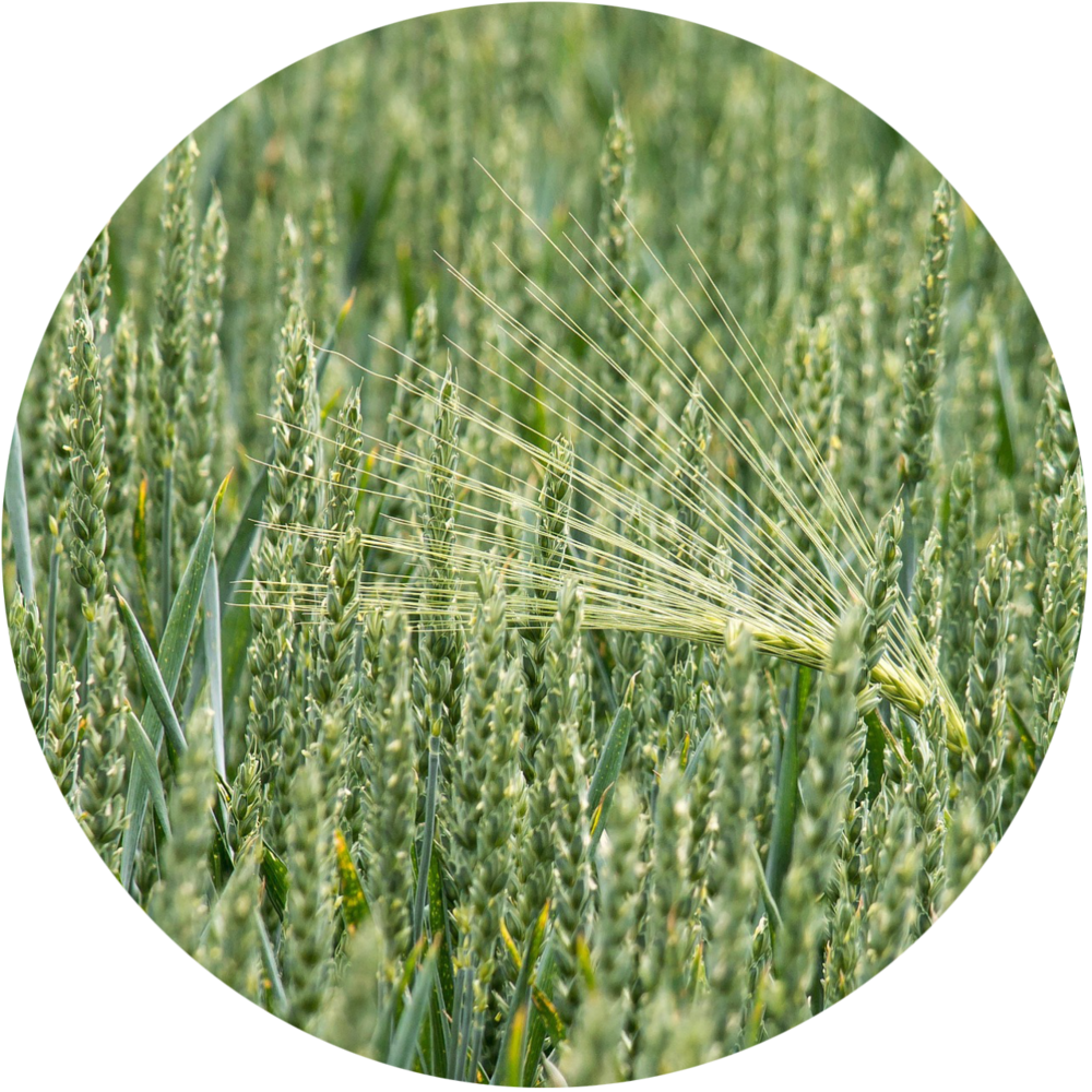 wheat-circle.png