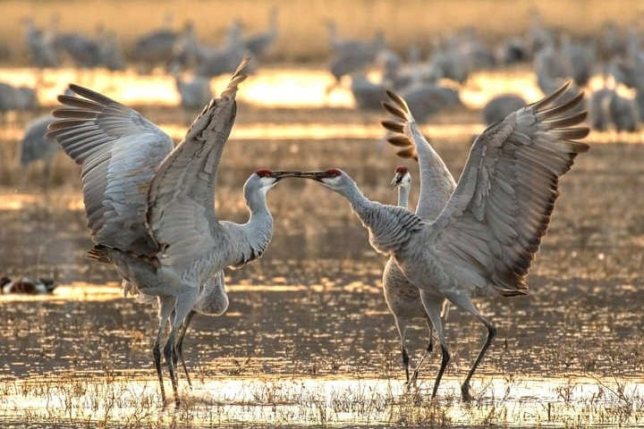 sandhill crane 1.jpg