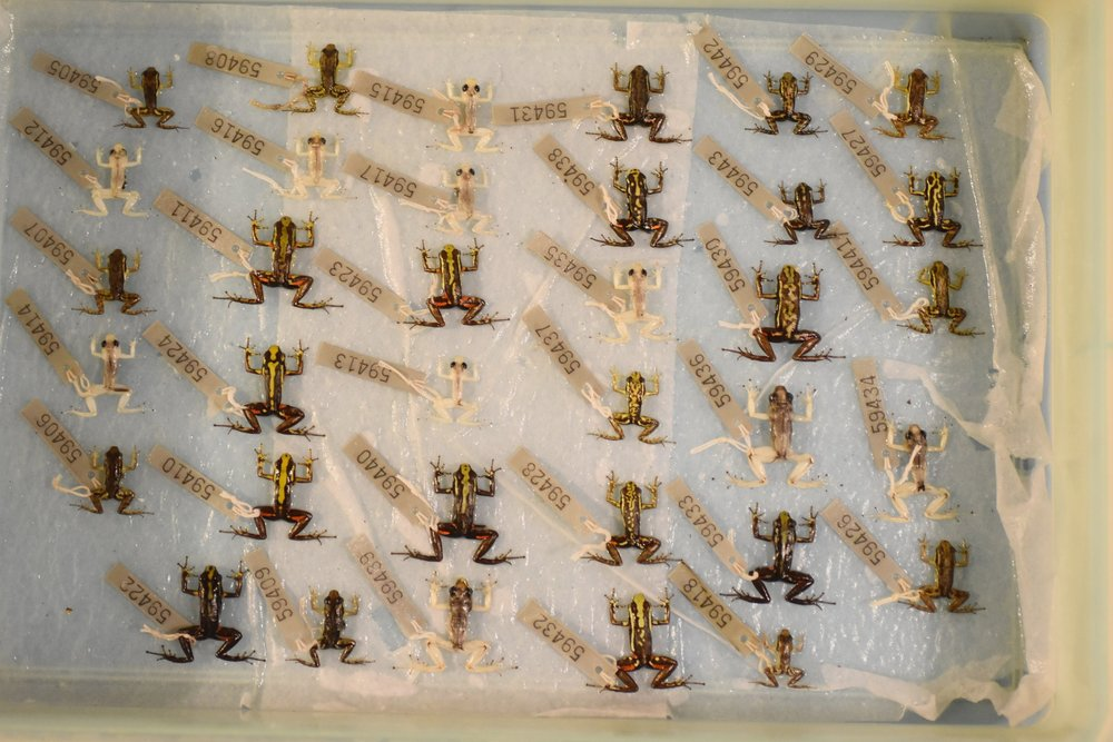 Collections-based research - Large and dynamic gene families are challenging to study in non-model organisms. If these genes could be studied using museum collections, their role in phenotypic diversification could be easily tested across a broad phylogenetic array of organisms. We are collaborating to develop a new method that would reliably quantify gene expression from formalin-fixed museum specimens. If successful, this method will substantially expand the possibilities of collections-based research.