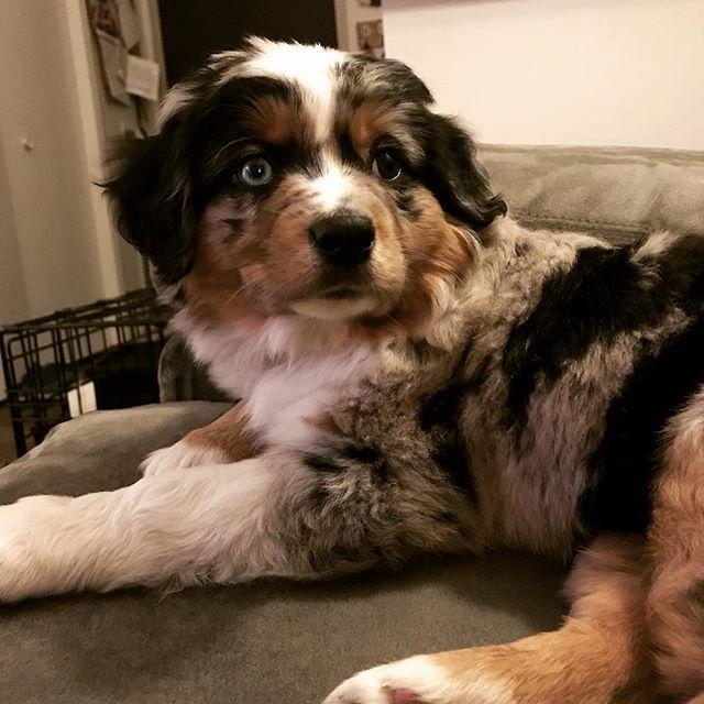 Say hello to our newest team member, Sven! #podcast #blogger #media #content #pupper #doggo #mascot #pup #puppy #dog #aussie #aussiesofinstagram #insta #instagram