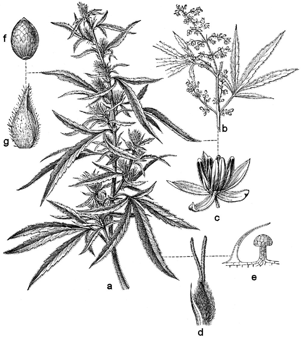 Beklädnadsväxter,_Cannabis_sativa,_Nordisk_familjebok.png