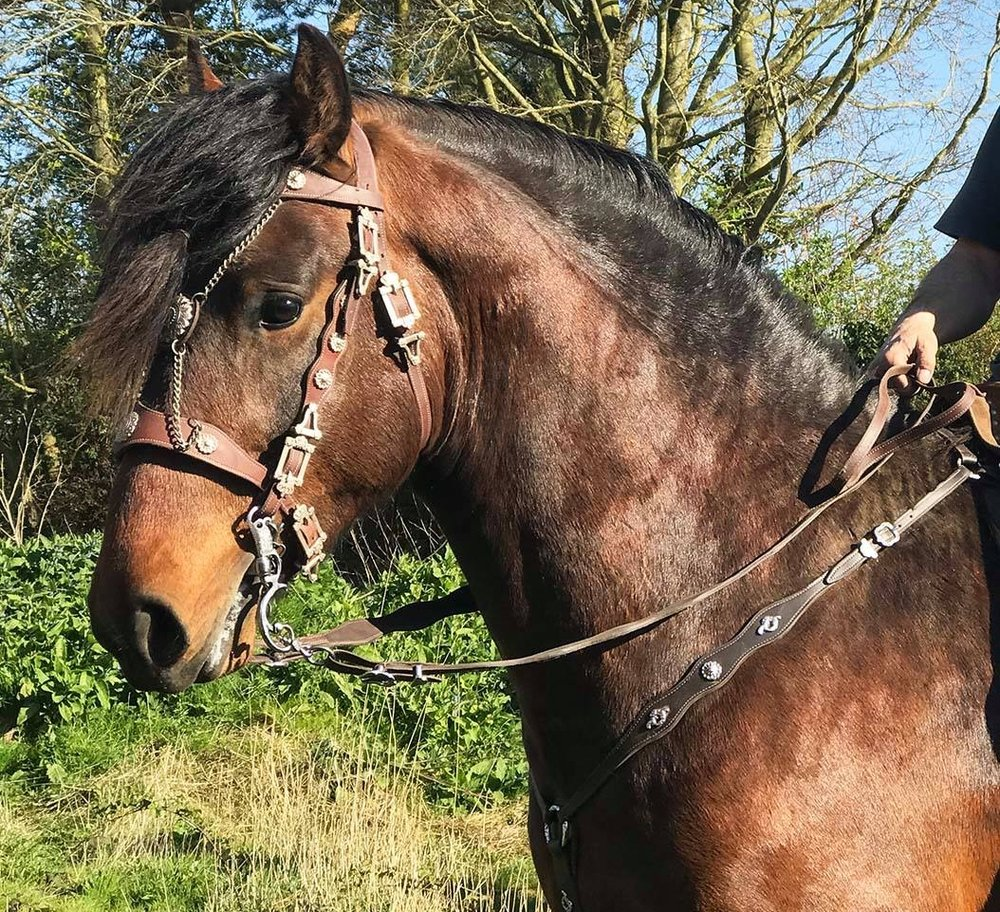 Talos is a Shire x Andalusian stallion that Kingsley is working with. Pictured here with his brand new medieval style bridle.