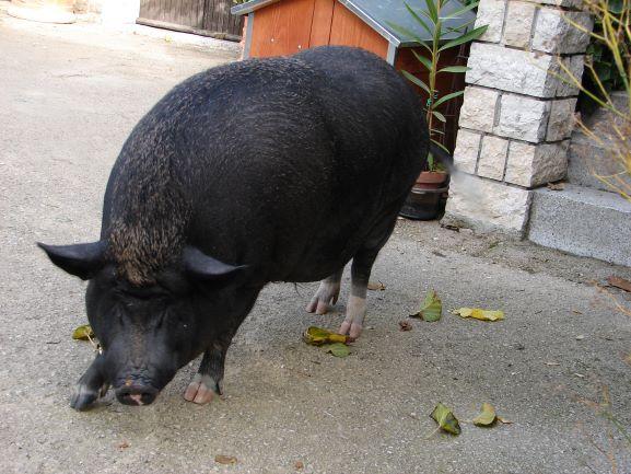 Gigi, Agroturizam San Mauro's retired truffle hunter
