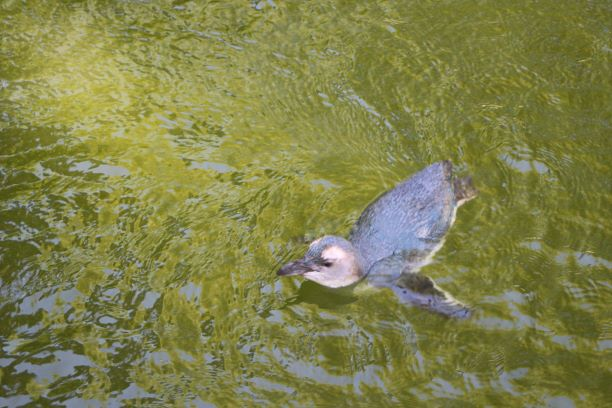 New Zealand's famous blue penguin at the Wellington Zoo