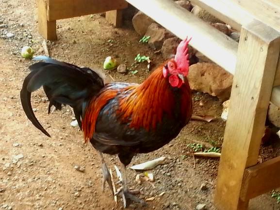 Kauai chicken 2.jpg