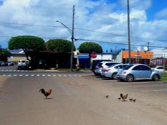 Kauai chicken 3].jpg