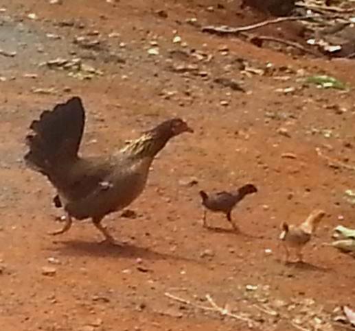 Kauai chicken 4.jpg