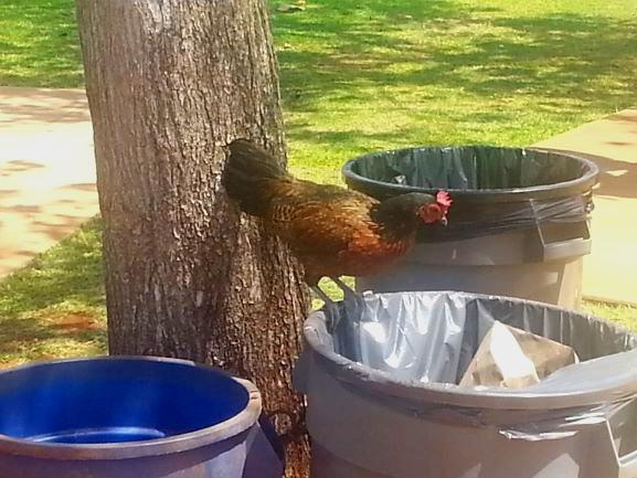 Kauai chicken 5.jpg