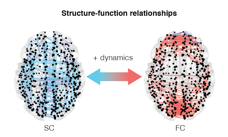 Structural connectivity represents the brain's physical wires — axonal projections or white-matter tracts — whose network organization shapes the correlation structure of neural activity, i.e. functional connectivity. Our work in this area seeks to understand this relationship in greater detail and takes advantage of both  in silico  simulations and empirical observations.