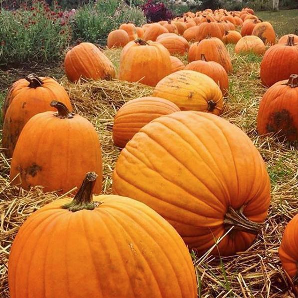 pumpkinssuqre.jpg