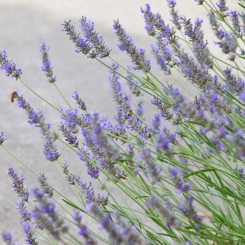 Grosso' lavender (Lavandula × intermedia 'Grosso').jpg