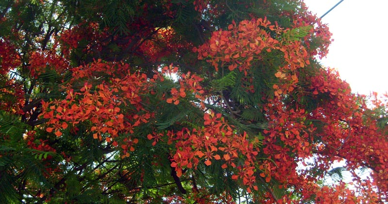 Flamboyan or royal poinciana trees bloom in early spring
