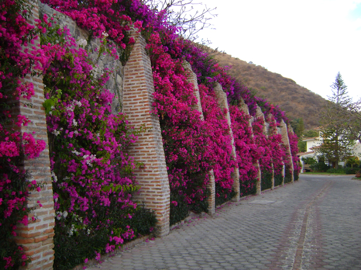 Colorful bougainvillea climbs a brick wall