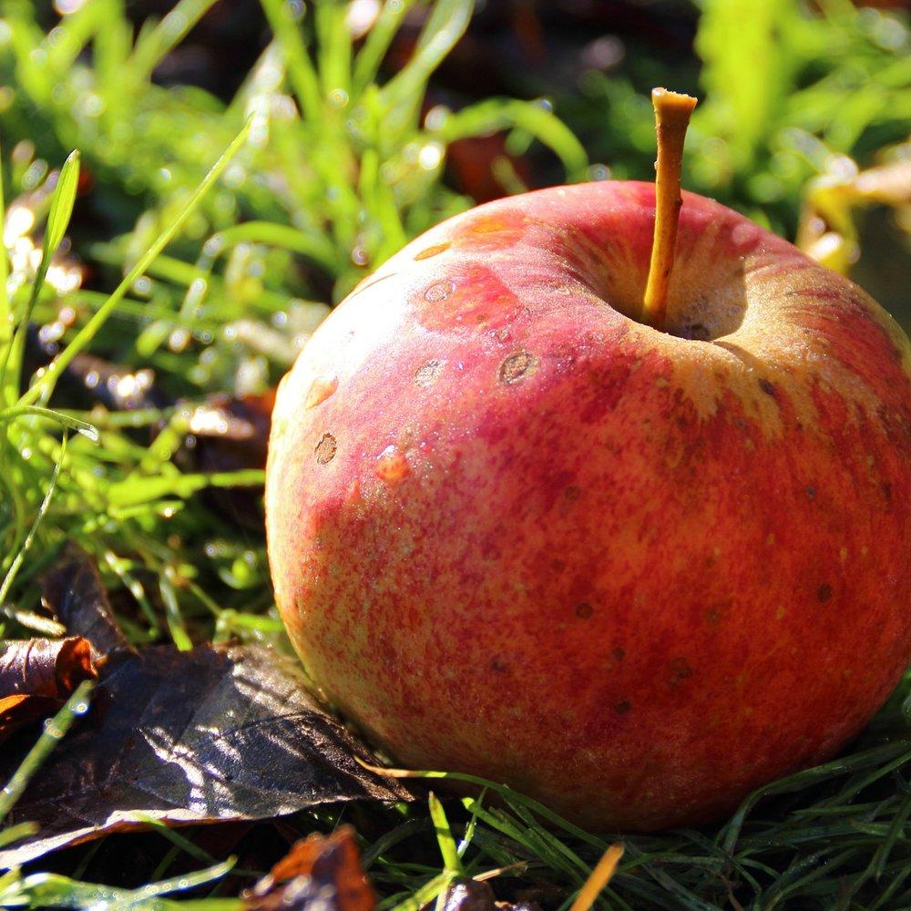 Fallen Apple.jpg