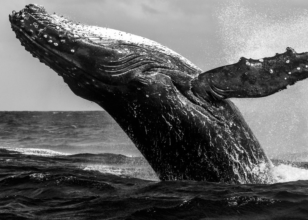 WHALE HELLO THERE BW