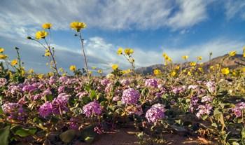 death valley springwild flowers.jpg