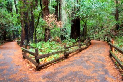 Muir Woods- Ancient Redwood Forest. California.