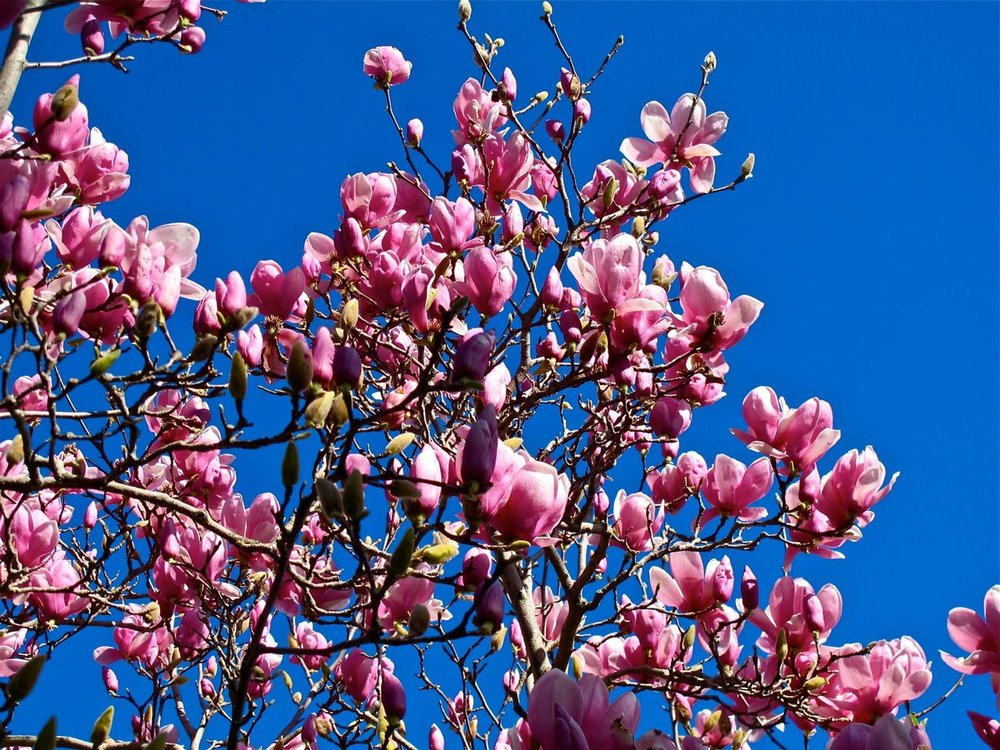 magnolia10.jpg