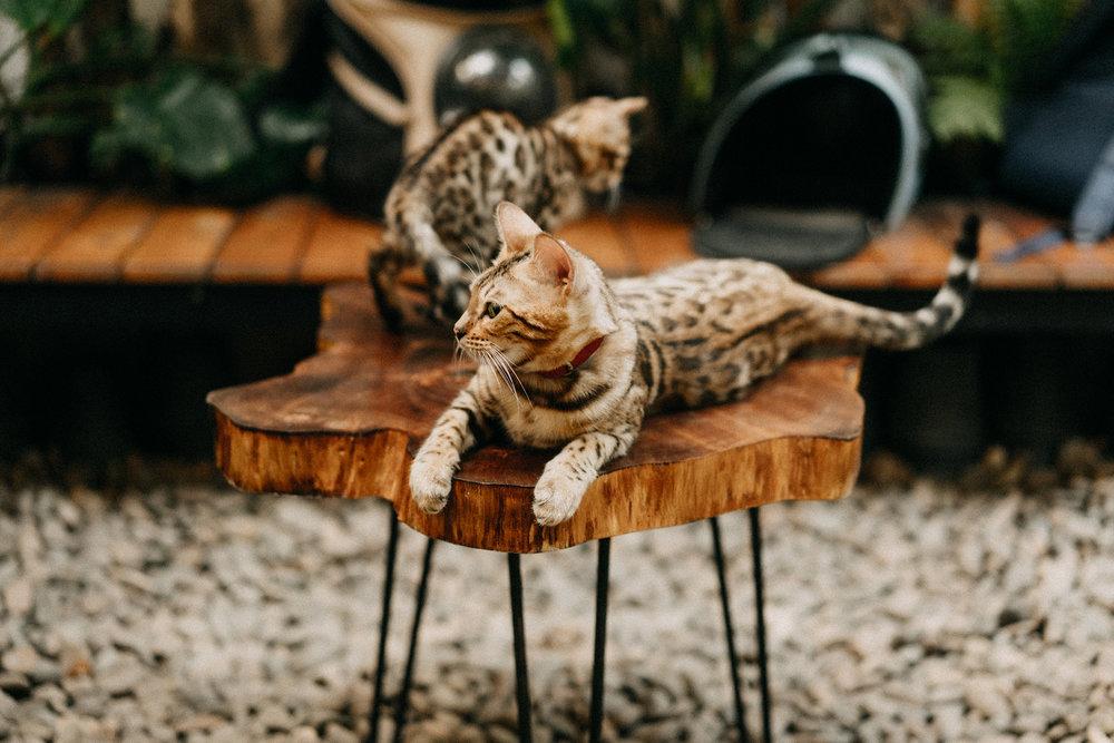 Do Bengal Cats Need A Specific Diet? - Liệu BENGAL có cần 1 chế độ dinh dưỡng cụ thể ?
