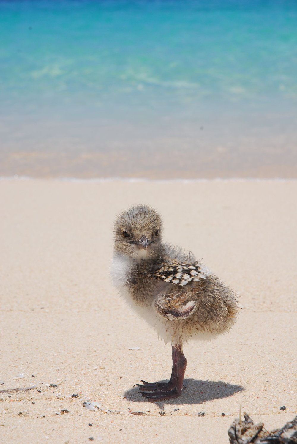 Michaelmas_Cay_chick_bird_life のコピー.jpg